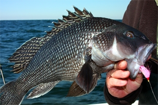 Sea Bass Fishing Charter