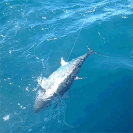 Montauk Tuna Fishing